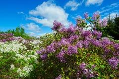 Syringa oblata blossom Stock Images