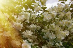 Syringa (Philadelphus coronarius) bujny kwitnie zdjęcia stock