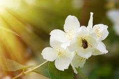 Syringa (Philadelphus coronarius) bujny kwitnie fotografia stock