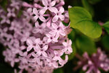 Syringa rose Photographie stock