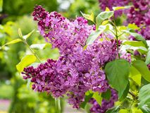 Syringa. Lush buds of lilac flowers on a branch Royalty Free Stock Images