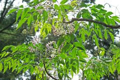 SYRINGA TREE FLOWERS AND GREEN FOLIAGE ON A BRANCCH. View of light falling on delicate flowers of a syringa tree with green foliage on branches Royalty Free Stock Photo