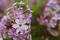 The upper part of the flowering branch of lilac Syriga sever petals in natural conditions close-up. Syringa. The upper part of the flowering branch of lilac Royalty Free Stock Photography