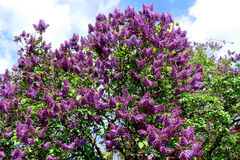 (Syringa vulgar) árvore lilás Foto de Stock Royalty Free