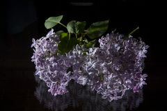 Syringa. Vulgaris on a black background Stock Photo
