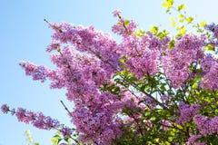 Syringa vulgaris blossom at spring time Royalty Free Stock Photo