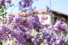Syringa vulgaris blossom at spring time Stock Images