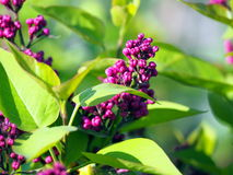 Syringa vulgaris 'Charles Joly' - Lilac Royalty Free Stock Photo
