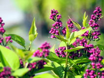 Syringa vulgaris 'Charles Joly' - Lilac Stock Photos