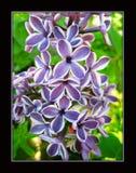 Syringa Vulgaris flower macro background stock photo