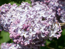 Syringa vulgaris flower. White and mauve syringa vulgaris flower Stock Images