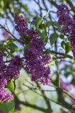 Syringa vulgaris flowering plant in the olive family oleaceae, deciduous shrub with group of dark violet purple flowers. And green leaves in sunlight, blue sky royalty free stock image