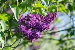 Syringa vulgaris flowering plant in the olive family oleaceae, deciduous shrub with group of dark violet purple flowers. And green leaves in sunlight against royalty free stock images