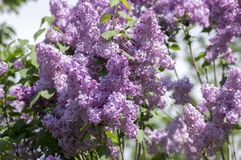 Syringa vulgaris flowering plant in the olive family oleaceae, deciduous shrub with group of light violet purple flowers. And green leaves in sunlight stock images