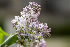 Syringa vulgaris flowering plant in the olive family oleaceae, deciduous shrub with group of light violet purple flowers. Syringa vulgaris flowering plant in the royalty free stock photography
