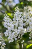 Syringa vulgaris flowering plant in the olive family oleaceae, deciduous shrub with group of white flowers and green leaves. In sunlight, romantic springtime royalty free stock image