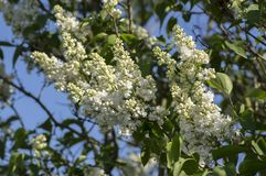 Syringa vulgaris flowering plant in the olive family oleaceae, deciduous shrub with group of white flowers and green leaves royalty free stock photo