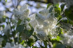 Syringa vulgaris flowering plant in the olive family oleaceae, deciduous shrub with group of white flowers and green leaves. In sunlight royalty free stock photography