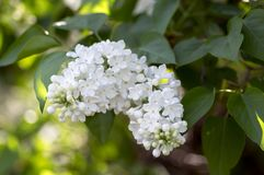 Syringa vulgaris flowering plant in the olive family oleaceae, deciduous shrub with group of white flowers and green leaves. In sunlight, backlight romantic royalty free stock photo