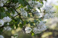 Syringa vulgaris flowering plant in the olive family oleaceae, deciduous shrub with group of white flowers and green leaves. In sunlight royalty free stock image
