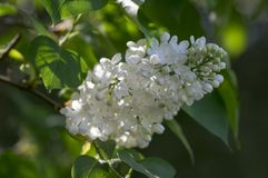 Syringa vulgaris flowering plant in the olive family oleaceae, deciduous shrub with group of white flowers and green leaves. In sunlight stock images
