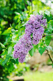 Syringa vulgaris flowers close up in spring garden. Lilac syringa vulgaris flowers close up in spring garden Royalty Free Stock Photography