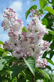 Syringa vulgaris `Krasavica Moskvy`. Breeder Kolesnikov. The most beautiful variety of lilacs. Spring. May. According to experts of UNESCO - the best siren in Royalty Free Stock Photos