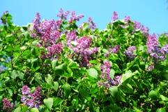 Syringa vulgaris lilac or common lilac flowers on the bush in the sun. Purple syringa vulgaris lilac or common lilac flowers on the bush in the sun. Springtime stock photos