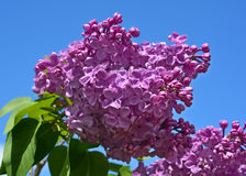 Syringa vulgaris. Lilac or common lilac is a species of flowering plant in the olive family Oleaceae, native to the Balkan Peninsula, where it grows on rocky Stock Photo
