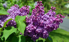 Syringa vulgaris. Lilac or common lilac is a species of flowering plant in the olive family Oleaceae, native to the Balkan Peninsula, where it grows on rocky Stock Photos