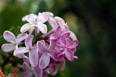 Purple lilac Syringa Vulgaris royalty free stock photo