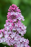 Syringa vulgaris lilac flower Royalty Free Stock Photos