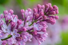 Syringa vulgaris lilac flower Stock Photo