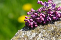Syringa vulgaris lilac Stock Photo