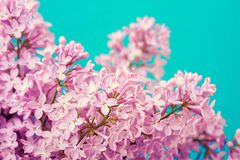 Purple lilac flowers background Royalty Free Stock Image