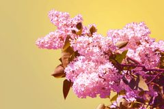 Syringa vulgaris, Lilac. Light pink lilac flower on abstract background.  stock photo