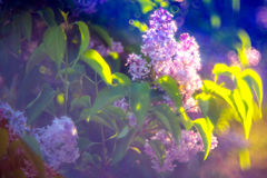 Syringa vulgaris. Lilac, Syringa vulgaris on soft morning light and bokeh Stock Image
