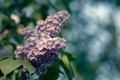 Syringa vulgaris lilac. Blossom twig in garden close up royalty free stock image
