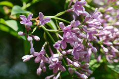 Syringa vulgaris lilac Royalty Free Stock Photo