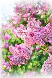 Syringa vulgaris. Liliac floral background. Floral blur bokeh background. Pink syringa vulgaris. Beautiful blooming flowers close up. Selective focus stock image