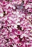 Syringa vulgaris Purple Lilac. Close-up texture stock photo