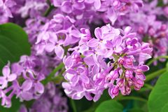 Purple lilac flowers background Stock Photography