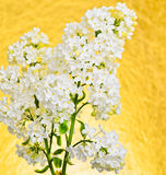 Syringa vulgaris, white Lilac Royalty Free Stock Photo
