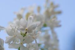 Syringa witte bloem Royalty-vrije Stock Foto's