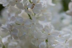 Syringa witte bloem Royalty-vrije Stock Afbeeldingen