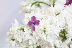 Syringa. You are special. Purple lilac flower among the branches of white lilac stock photos