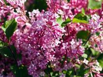 Syringamacrophylla 'Superba' - lila Royaltyfri Foto