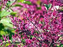Syringameyeri lila 'för fröcken Elly' - Arkivfoto