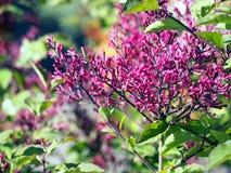 Syringameyeri lila 'för fröcken Elly' - Royaltyfri Fotografi