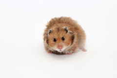 Syrische bruine hamster op een witte achtergrond Royalty-vrije Stock Foto's